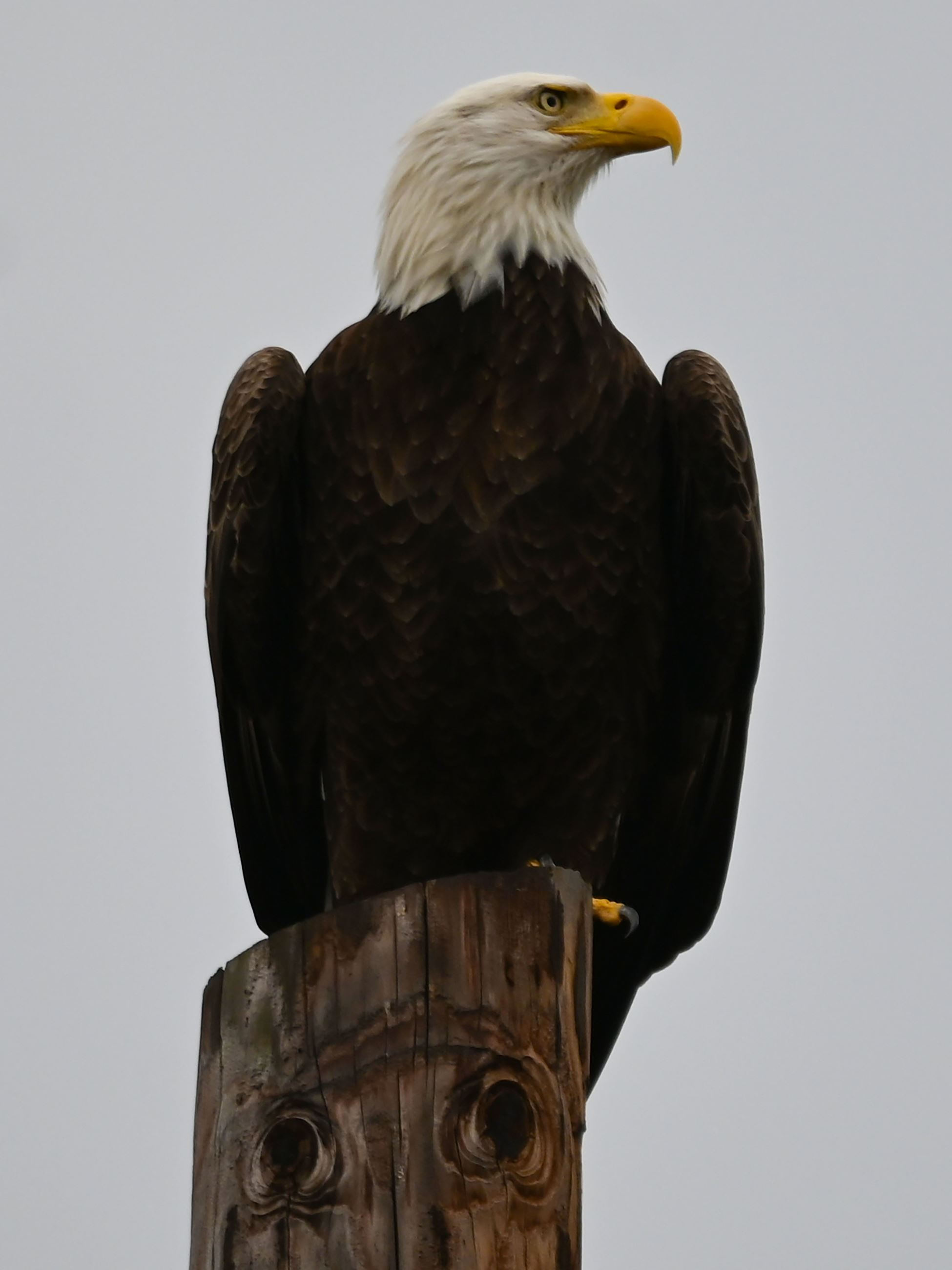 bald eagle standing on a post
